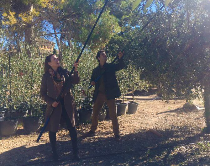 The art of beating – Advice on how to carry out pole beating the olive correctly