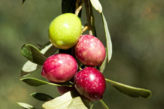How Masía El Altet EVOO manages to achieve a high number of polyphenols