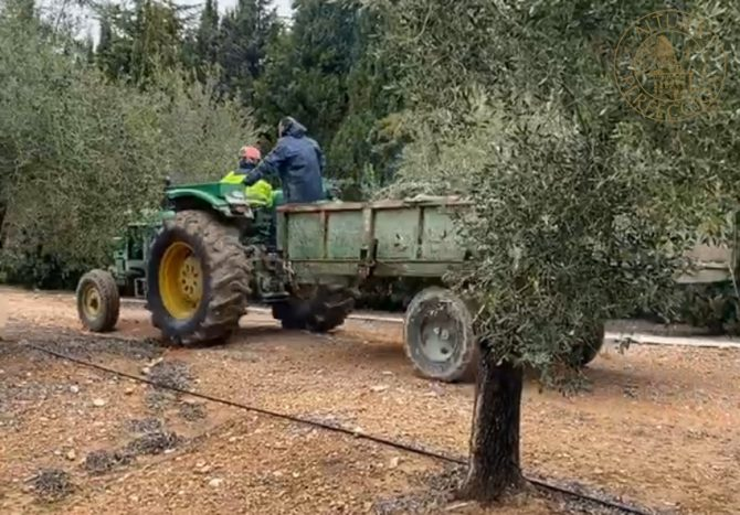 Olive tree care after harvesting at Masía El Altet