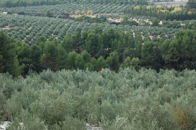 All the secrets you wanted to know about pruning  olive trees