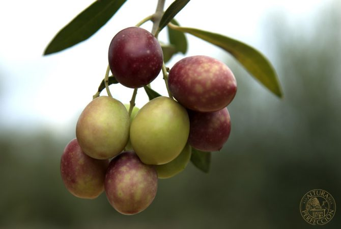 How should the best olive oil be produced? Tips when choosing it
