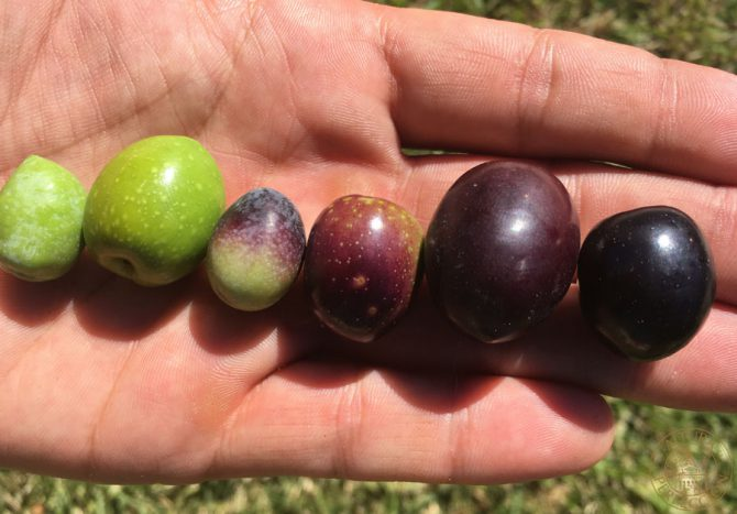 The varieties of olive which make up our best olive oil